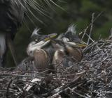 Nest  2 Chicks