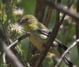 Lesser Chickadee