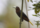 Chestnut-headed-Oropendola.jpg