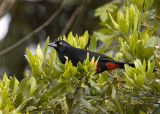Red-bellied-Grackle.jpg