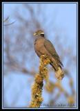 Band-tailed-Pigeon.jpg