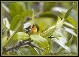 Blackburnian Warbler / Reinita Gargantinaranja