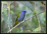 Blue-capped-Tanager.jpg