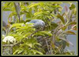 Blue-grey Tanager / Tangara Azuleja