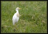 Cattle-Egret.jpg