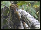 Golden-Olive Woodpecker / Carpintero Olividorado