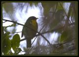 Golden-breasted Fruiteater / Frutero de Pecho Dorado