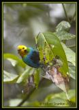 Multicoloured Tanager