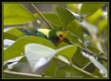 Multicoloured-Tanager.jpg