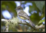 Pale-edged Flycatcher / Copetón Filipálido