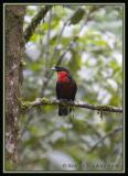 Red-ruffed Fruit Crow / Cuervo-Frutero Gargantirroja
