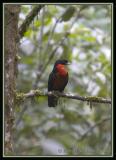 Red-ruffed-Fruit-Crow-3.jpg