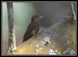 Red-rumped-Woodpecker-2.jpg