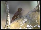 Red-rumped-Woodpecker.jpg