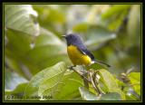 Slate-throated Whitestart / Candelita Gargantiplomiza