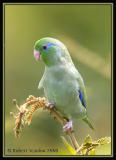 Spectacled-Parrotlet-4.jpg