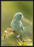 Spectacled-Parrotlet-6.jpg