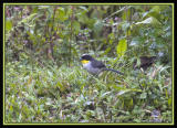 White-naped Brush-Finch