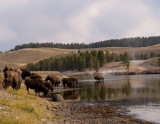 Bison in the Yellowstone River, Hayden Valley