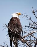Eagle Parent