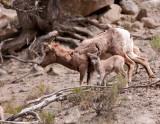 Big Horn Ewe and Calf