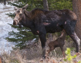 Cow Moose,  nursing her day old calf