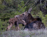 Wounded cow moose and calf