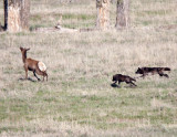 A Mother Elk's Desperate Struggle