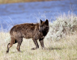 Wolf, Lamar River, Yellowstone NP