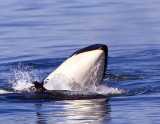 Mother Orca and Her One Month Old Calf