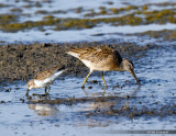 Least Sandpiper on Left, and Short Billed  Dowitcher on the right