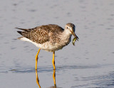 Greater Yellowlegs and Another Stickleback Minnow