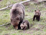 Grizzly Family at Grizzly Lake, YNP