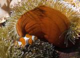 False Clown Anemomefish