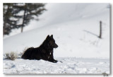 2-18-8  Black Wolf from the Agate pack.
