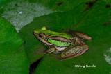 (Rana erythraea) Green Paddy Frog