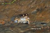 (Limnonectes ingeri) Greater Swamp Frog