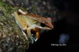 (Rana nicobariensis) Criket Frog