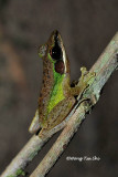 (Rana chalconota)White-lipped Frog