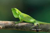 (Bronchocela cristatella) Green Crested Lizard