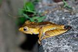 (Polypedates otilophus) File-eared Tree Frog