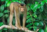 (Macaca nemestrina)Pig-tailed Macaque