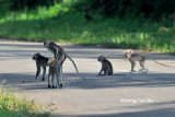 (Macaca fascicularis) Long-tailed Macaque