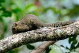 (Callosciurus notatus) Plaintain Squirrel