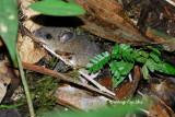 (Lenothrix canus) Grey Tree Rat