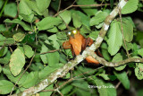 (Petaurista petaurista) Red Giant Flying Squirrel
