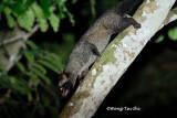 (Paradoxurus hermaphroditus) Comon Palm Civet