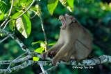 (Macaca nemestrina)Pig- tailed Macaque