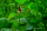 (Leucauge decorata)