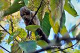 (Callosciurus baluensis)  Kinabalu Squirrel